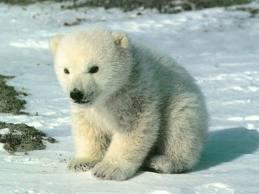 les ours polaire !!! dans les animaux ujgy