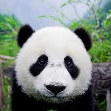 Les Pandas (2) dans les animaux drtfgvykj